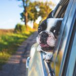 Dog poking head out of car window