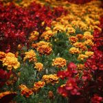Fall flowers marigolds